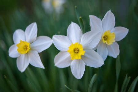 Three daffodils on a green background close-up Banco de Imagens