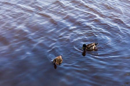 two ducks swim in a pond with blue water and a little excitement Banco de Imagens