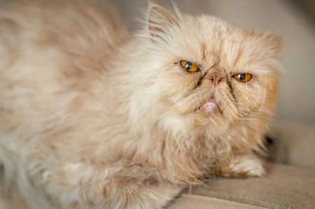 Red Persian cat on the couch looks straight into the camera Banco de Imagens