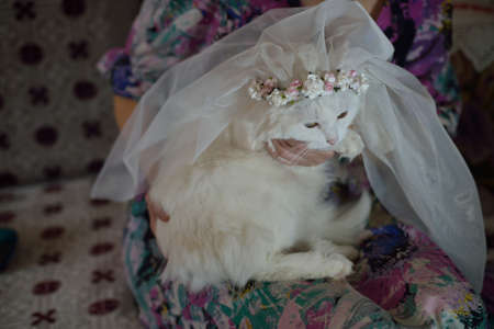 white cat in wedding veil Фото со стока
