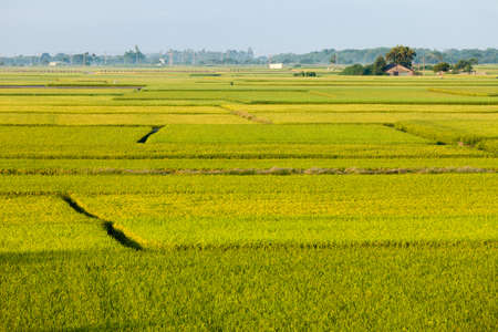 beautiful green paddy field