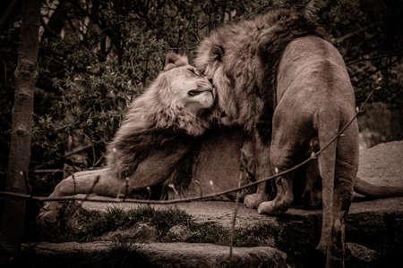 africa kiss: Lion & Lioness Together Cuddling, Lion Love Friendship