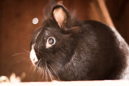 black rabbit or bunny from the side in a shed Stock Photo
