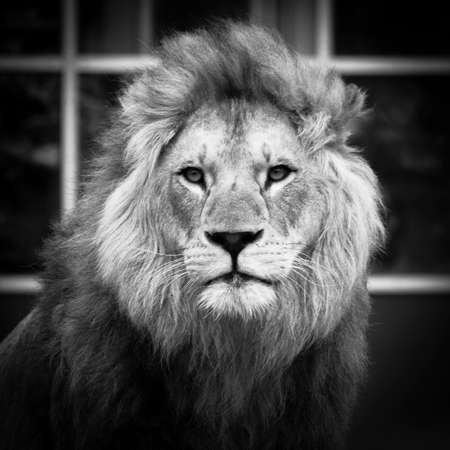 Male african lion with big eyes looking straight into the camera with closed mouth in front of a glass facade in black and white