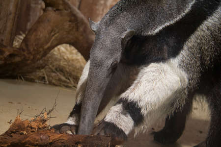 Coati with his nose and front Stock Photo