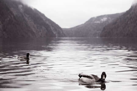 Swimming in the waters of Lake Koenigssee in Bavaria in the mountains on a cloudy day