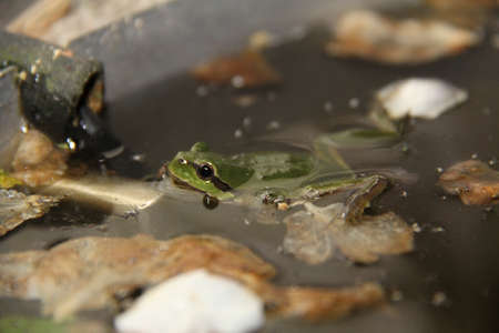 European tree frog or greenback swimming in green water in a small pond