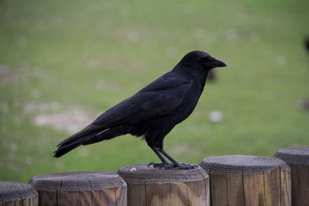 Black crow sitting on a grass in the background Stock Photo