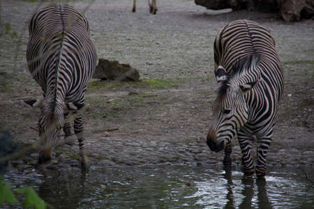 Two zebras drinking at a waterhole on a cloudy day