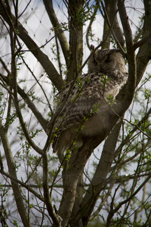 tu-whit tu-whoo or eagle owl sitting on the branch of a tree on a cloudy day