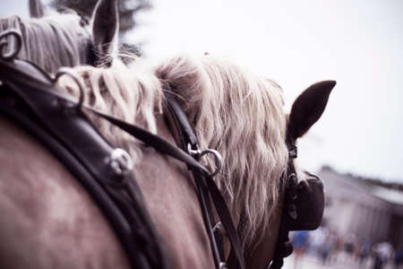 Two horses of a horse carriage from the back Stock Photo