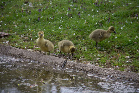 Three small duck children at a small river with yellow fur and black beaks