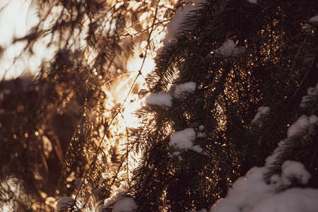 Spruce tree branches with white snow on top with the evening sun shining through in winter