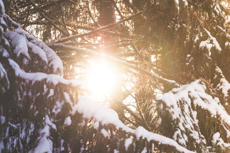 Spruce tree branches with white snow on top with the evening sun shining through Stock Photo