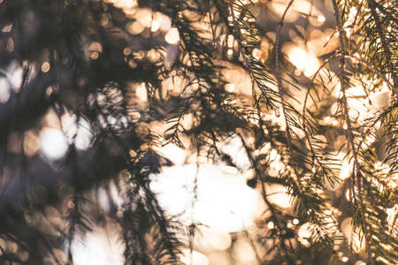 Spruce tree branches with white snow on top with the evening sun shining through in winter with bokeh Stock Photo