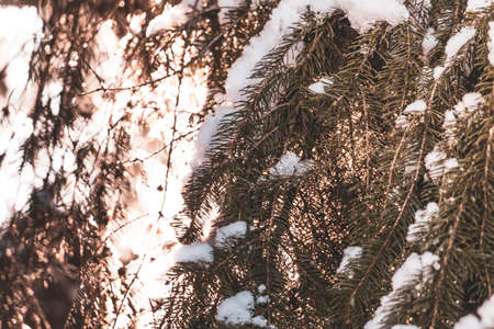 Couple of Spruce tree branches with white snow on top with the evening sun shining through in winter with ice