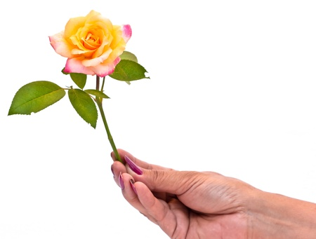 hand holding a rose on white background photo