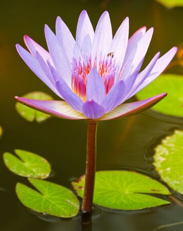 The bright violet lotus in the pond photo