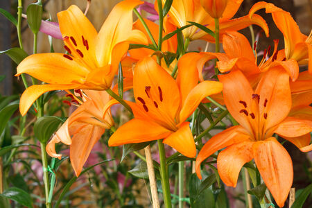 orange lily: Orange Lily in the park.