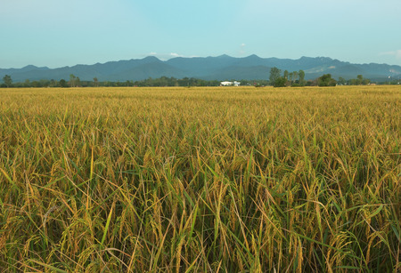 The rice is growing and it is ready to be harvested in the rice field.