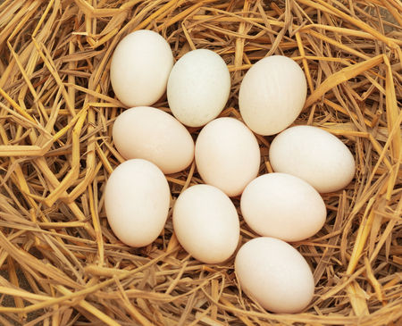 Duck eggs on dry straw for hatching.