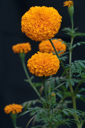 Marigold flower full bloom in the garden.Select focus point.