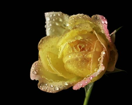 Drops of water on the petals of roses.Select the focus point.