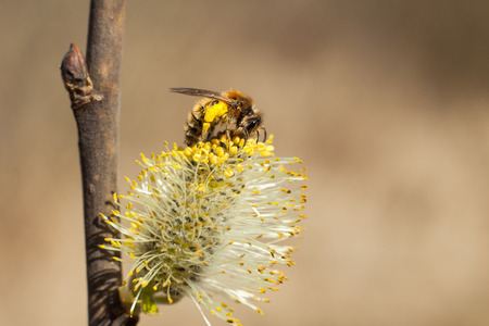 The bee collects pollen on the flowering tree. Bee on catkins. Yellow pollen on twigs and on bee.(Multiple Values)