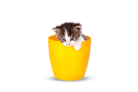 Very small kitten in pots on a white background. Sweets littles cats looking around to the sides and looking ahead. Stock Photo