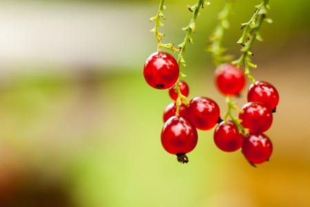 secrete: Red currant fruit on the bush. Harvest of ripe fluffy red currant. Red fruits on a green background. Stock Photo