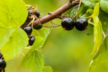 Blackcurrant fruit on the bush. Harvest of ripe fluffy blackcurrant. Black fruits on a green background.
