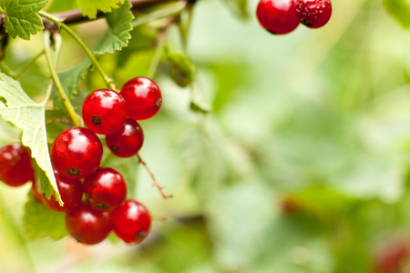 owning: Redcurrant fruit on the bush. Harvest of ripe fluffy redcurrant. Red fruits on a green background. Stock Photo