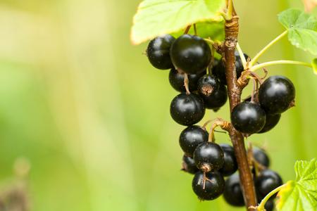 watered: Blackcurrant fruit on the bush. Harvest of ripe fluffy blackcurrant. Black fruits on a green background.