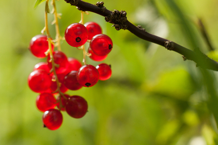 Red currant fruit on the bush. Harvest of ripe fluffy red currant. Red fruits on a green background. Stock Photo