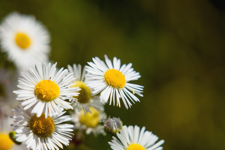 Chamomile flower common.
