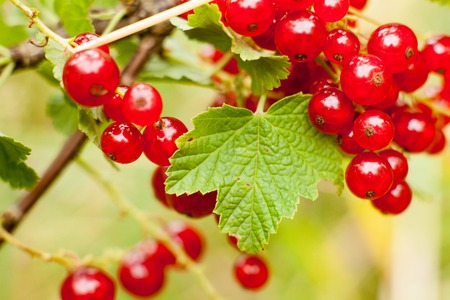 secrete: Redcurrant fruit on the bush. Harvest of ripe fluffy redcurrant. Red fruits on a green background. Stock Photo