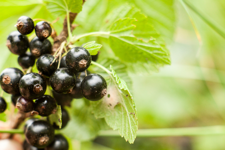 secrete: Blackcurrant fruit on the bush. Harvest of ripe fluffy blackcurrant. Black fruits on a green background.