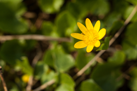 Spring buttercup flower with the large eight-petal inflorescence on a blurred background. Ficaria verna Huds yellow springtime flower.