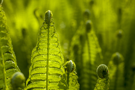 Growing green ferns on natural blured green background. Polypody in a natural environment. Forest plants and sunlit leaves. Banque d'images