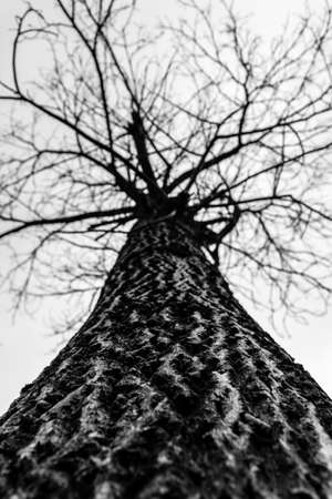 walnut tree: Old walnut tree peel in black and white Stock Photo