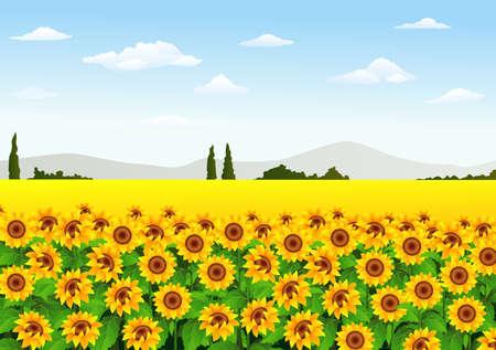 vector illustration of Illustration of sunflower field