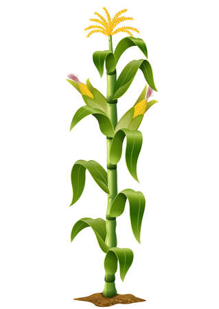 plants: vector illustration of Corn plant