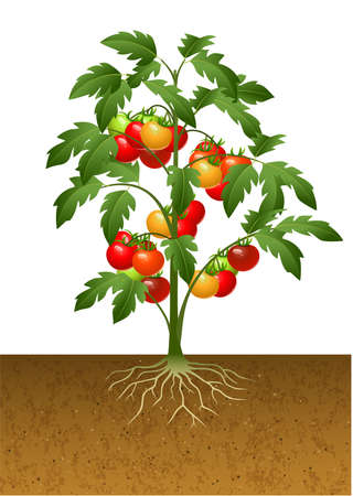 Vector illustration of Tomato plant with root under the ground Ilustração