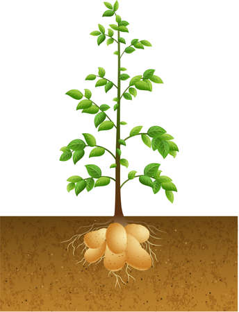 Vector illustration of Potatoes plant with root under the ground