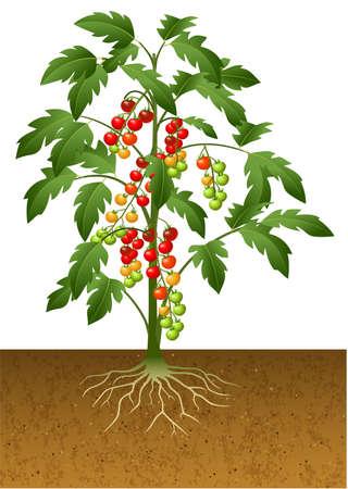turba: ilustración vectorial de la planta de tomate cereza con raíces bajo tierra