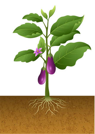 vector illustration of Eggplants plant on the tree illustration