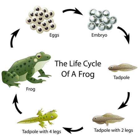 De levenscyclus van een kikker Stock Illustratie