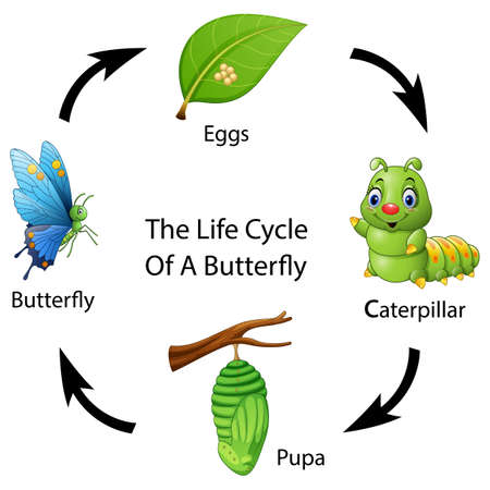 polymorphism: Vector illustration of The life cycle of a butterfly