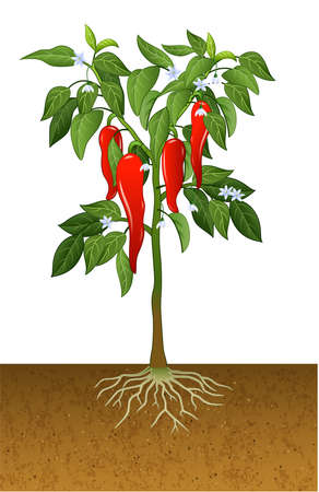 illustration of Illustration of chili pepper plant