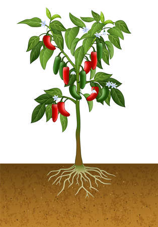 illustration of Jalapeno pepper plant